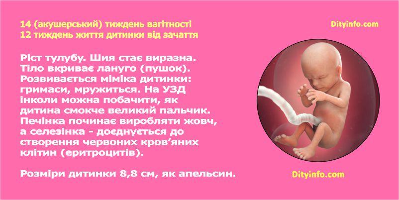 Розвиток дитинки під час другого триместру вагітності