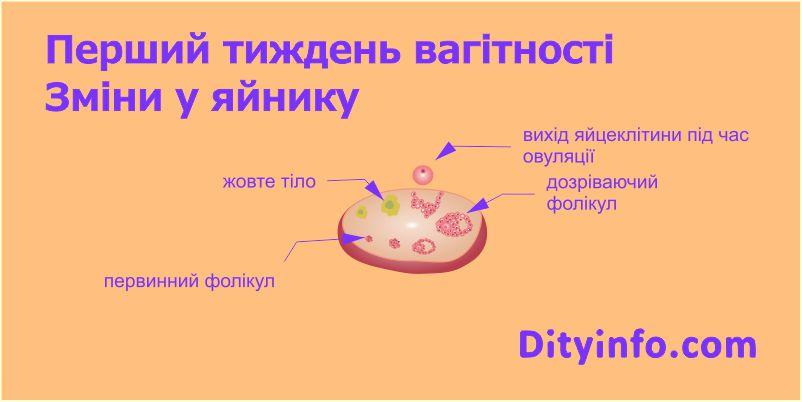Розвиток дитинки під час першого триместру вагітності