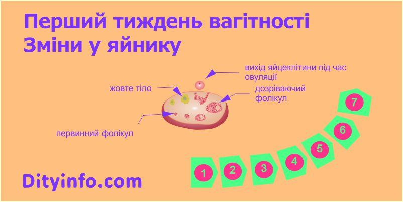 1_tyzhden_vagitnosti_zminy_v_jajnyku.jpg (46.72 Kb)