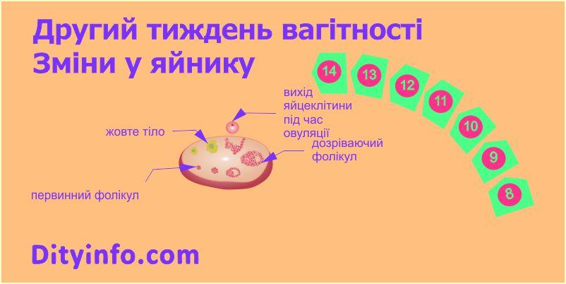 2_tyzhden_vagitnosti_zminy_v_jajnyku.jpg (46.6 Kb)