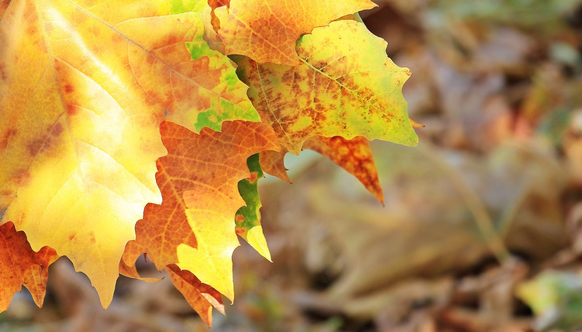 autumn_fall_leaves_leaves_true_leaves_fall_color_nature_golden_autumn_autumn_colours-509409_jpgd.jpg (121.31 Kb)