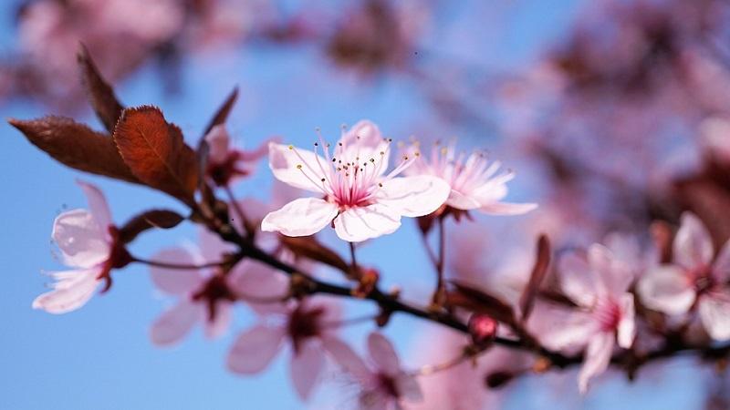 cherry-blossom-3.jpg (81.97 Kb)